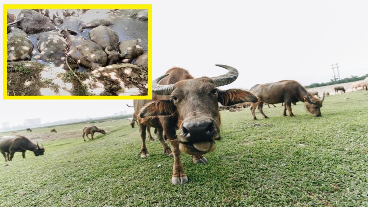Đàn trâu hàng trăm triệu ở Hà Nội chết như ngả rạ nghi bị đầu độc