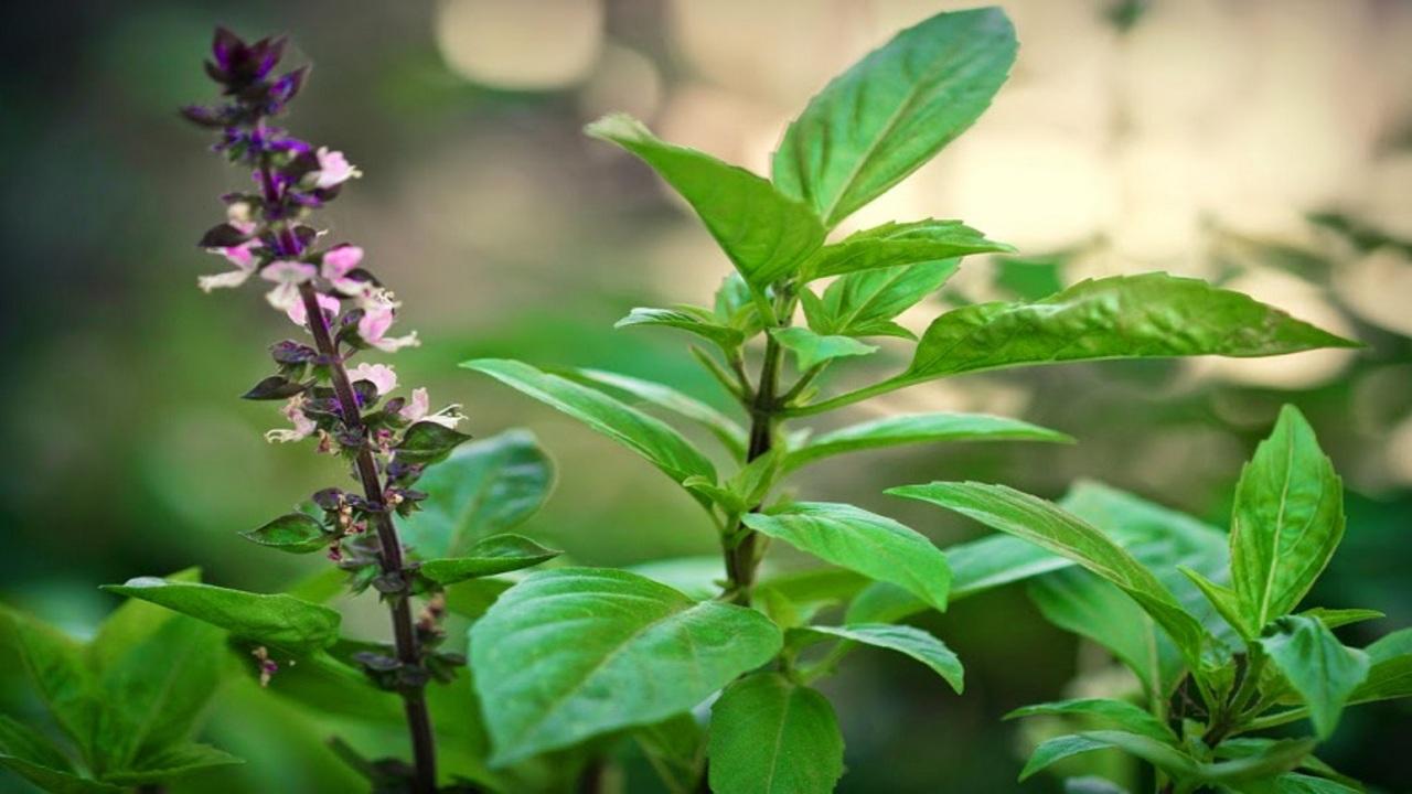 Tác dụng chữa bệnh thần kỳ từ cây Húng Quế